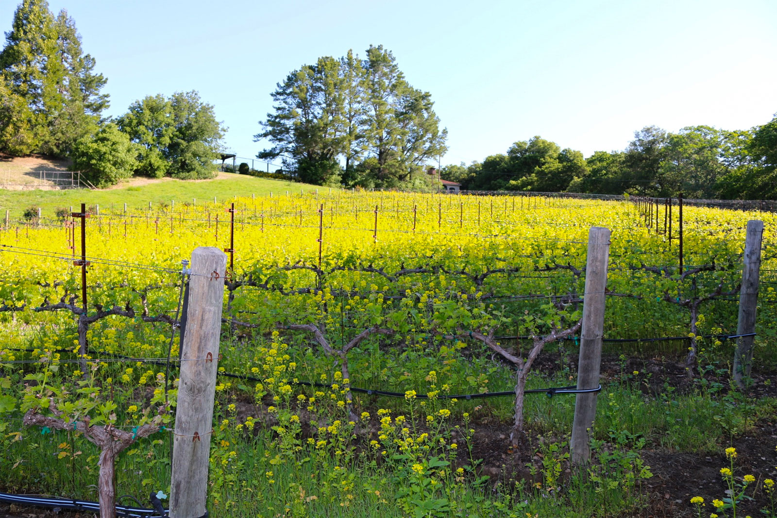 Mustard Grass in the vineyards.