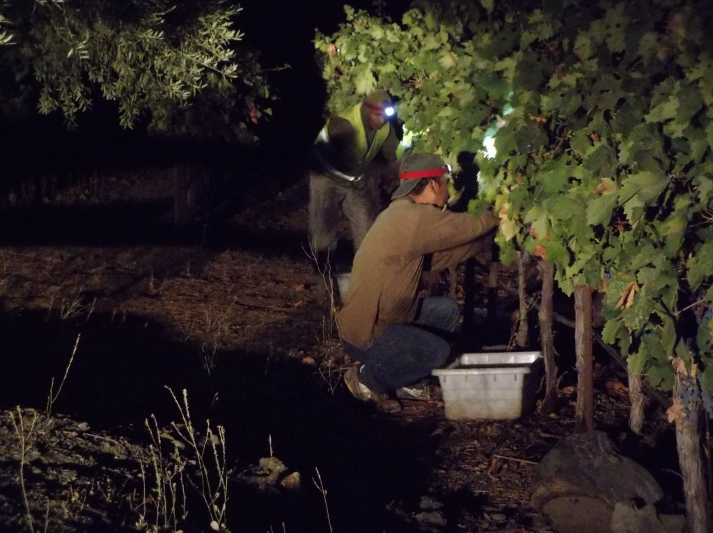 Harvesting in Napa Valley 2016